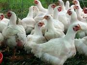 Суточные и подрощенные (10-14 дней) цыплята бройлеров породы