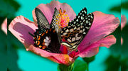 Восхитительные Живые Бабочки из  Чили